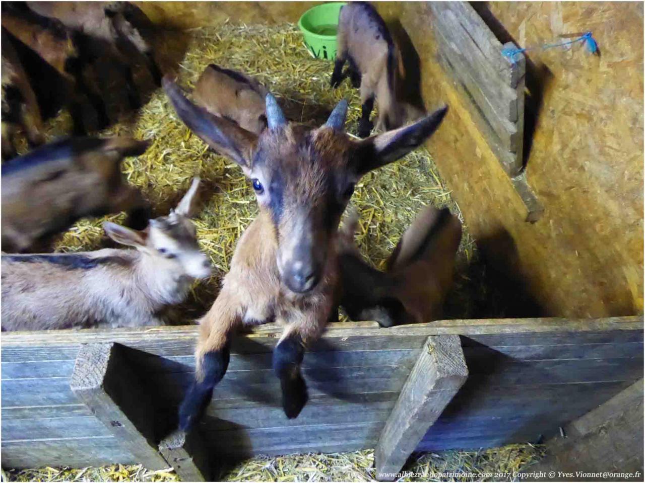 Un cabri dans la chèvrerie