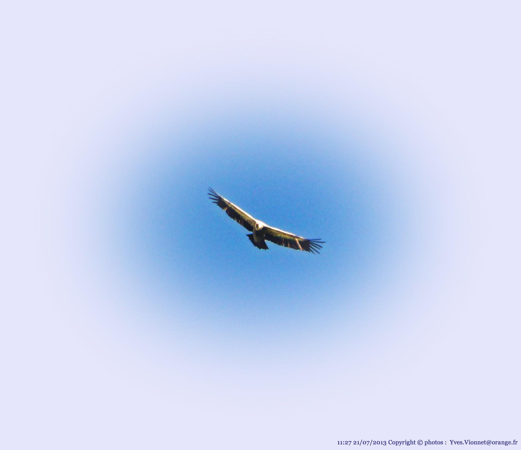 P1050166 130721 vautour