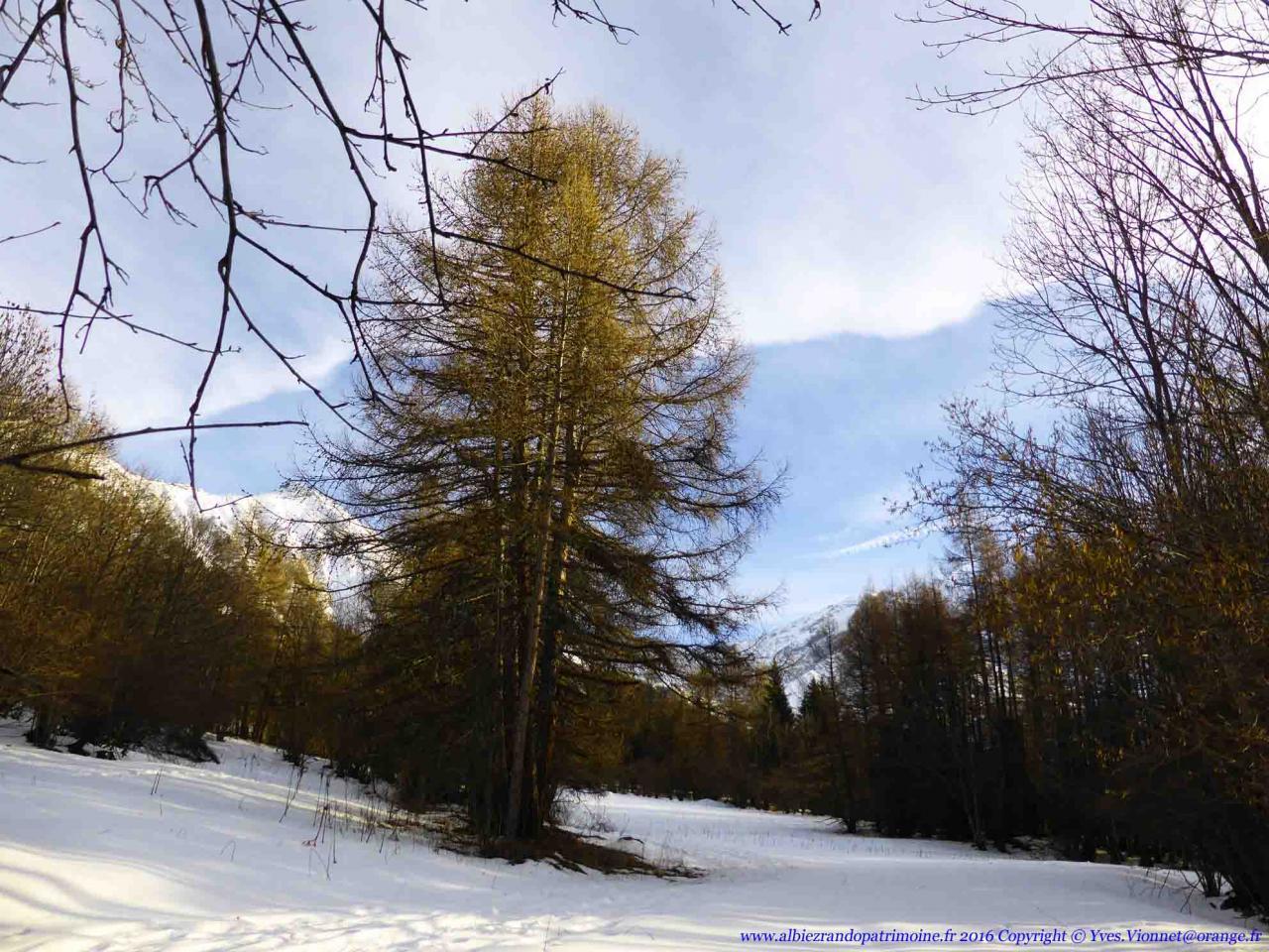 Rando raquette dans une splendide forêt de mélèze