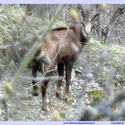 Observations chamois & marmottes
