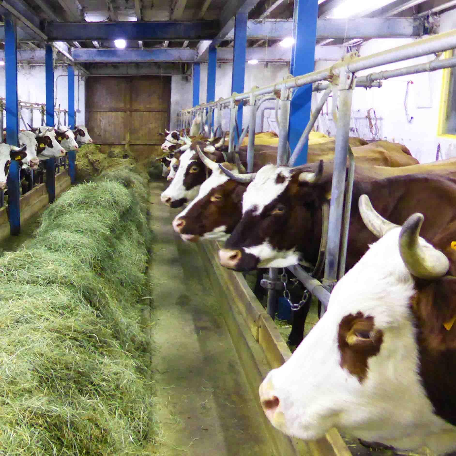 La traite des vaches en hiver, après une petite marche ou randonnée en raquettes, dégustation.