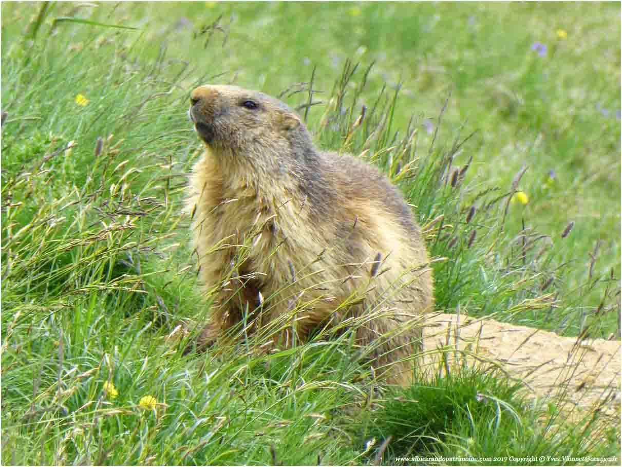 Rencontre avec les marmottes et les marmottons, découverte des particularités de leur vie sous terre