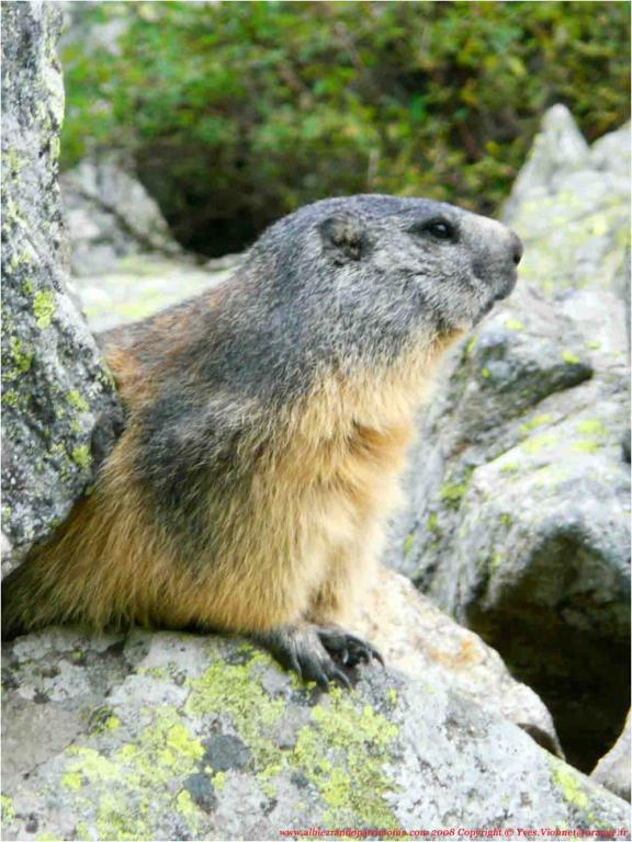 Rencontrez les marmottes