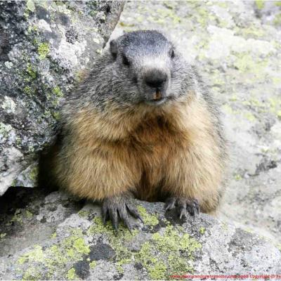 Jeu. Rencontrez les marmottes