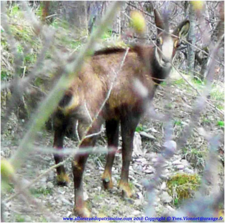 11) Observation chamois Mercredi Vac. Scol.